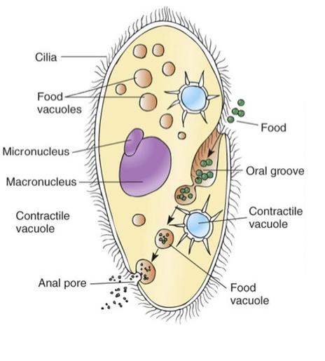 Protist Cell Structure Protista - Kingdom Ext...